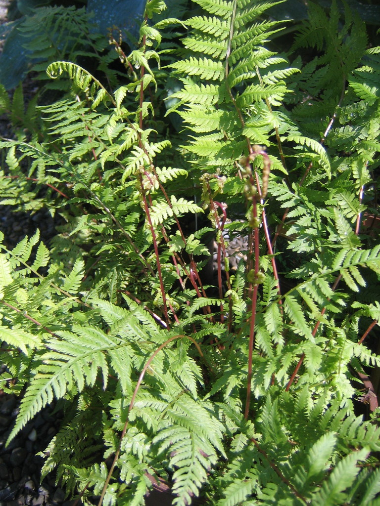A tough native fern with a delicate texture:  Athyrium 'Lady in Red'.