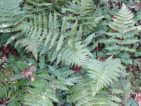 fern_unidentified1